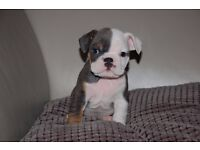 *****Kc reg English TRI bulldog BOY LAST 1 LEFT*****