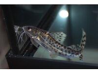 Pictus Catfish x 3. 10-12cm. £20