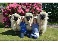 Valais Blacknose Sheep Fleece