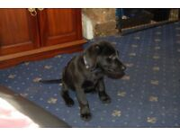 black puppy for sale £ 700