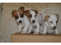 Gorgeous Jack Russell Pups Ready For Their New Homes.