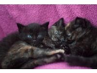 5 Beautiful 1/2 British shorthaired kittens for sale