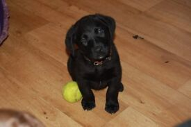 black puppy for sale £ 775