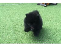 Show quality Small Kc reg Pomeranian puppies