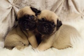 Gorgeous pug puppies **3 still available 17/12/17**