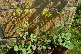 Chilean Glory Vine and other nice plants for sale