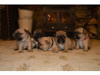 KC Registered French Bulldog Puppies - READY TO LEAVE NEXT WEEK