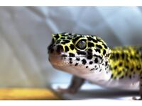 Male Jungle mack snow leopard gecko current weight 75Grams