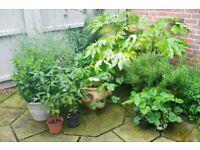 GARDEN PLANTS (JOB LOT)
