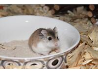 Roborovski Dwarf Hamster - Wee Critters Small Animal Rescue