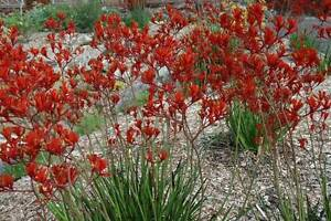 Kangaroo Paw plants Landsdale Wanneroo Area Preview