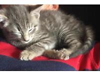Grey female tabby kitten