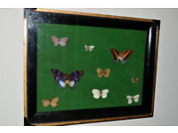 EARLY 20TH c. TAXIDERMY CASE OF BUTTERFLIES