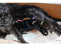 Labradoodle puppies - 3 of a litter of 9 looking for a loving, responsible parent
