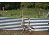 A Pair of Chinese Geese For Sale