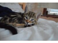 4 stunning bengal cross kittens ready for rehoming