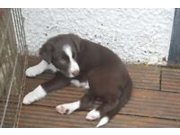 Chocolate brown and white border collie pups for sale