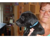 labrador x sharpie pup sready 5th sept after vet check and microchipping lovely pups mum dad r pets