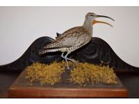 Vintage Taxidermy whimbrel (curlew) wading bird on large wooden stand