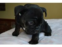 Beautiful Bulldog puppy ready now