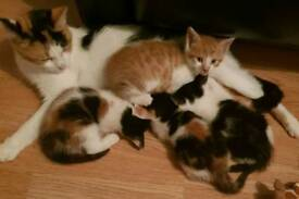8 weeks old kittens for sale
