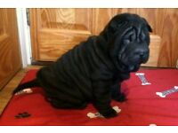 Shar Pei Pup Ready to Leave