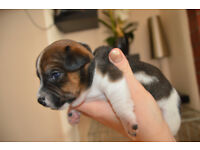 Miniature Jack Russell boys for sale