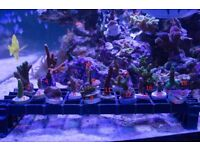 Corals for marine aquarium, fish tank