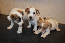 Gorgeous Jack Russell Pups Now Ready For Their New Homes.