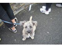 Scruffy dog needs scruffy home.....Boarder Terrier X Cairn
