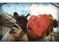 One male French Bulldog left KC reg READY NOW