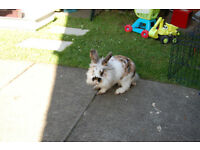 Very cute 6 months old lionhead rabbit with cage, food and accessories
