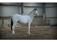 2yr old Blue/White Pintaloosa