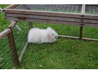 Lionhead Lop Rabbits 9 Weeks old
