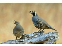 Pair of californian quails