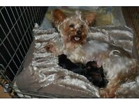 yorkshire terrier SILVER
