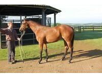 Stud Hand Thouroughbred Yearling Preperation
