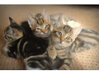 5 stunning bengal cross kittens ready for rehoming