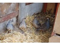 7 blue scaled quails for sale