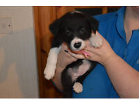 Beautiful Border Collie pups for sale