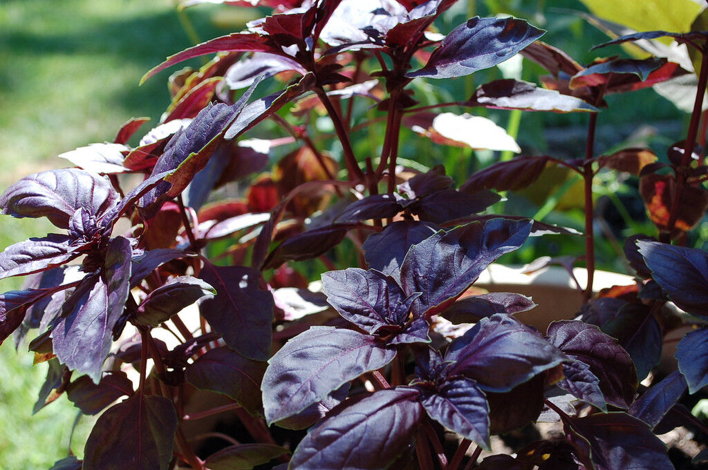 "Picture of 2 (TWO) Live Basil Dark Opal aka Ocimum basilicum 'Purpurascens' Herbs Plant Fit 3.5"" Pot"