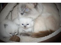 RagDoll kittens for sale 12 weeks old
