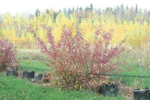 Hedge plants: Cotoneaster, dogwood, lilacs, willows and more