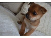 Stunning and Adorable Chihuahua Puppies *Two Boys*