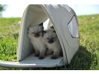 Gorgeous Full Ragdoll kittens