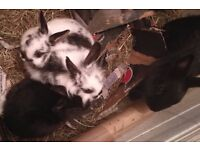 2 Gorgeous Baby Rabbits For Sale - Only £25 each