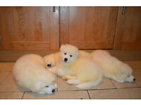 Samoyed Pups for sale, Belfast Northern Ireland