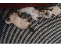 3x female siamese kittens