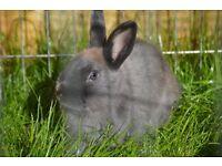 Miniature Rabbit Male 8 Months old