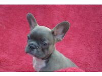French Bulldog Puppy's AT dd Bb kyky All tripple carriers